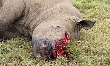 A-rhino-poached-on-a-priv-008