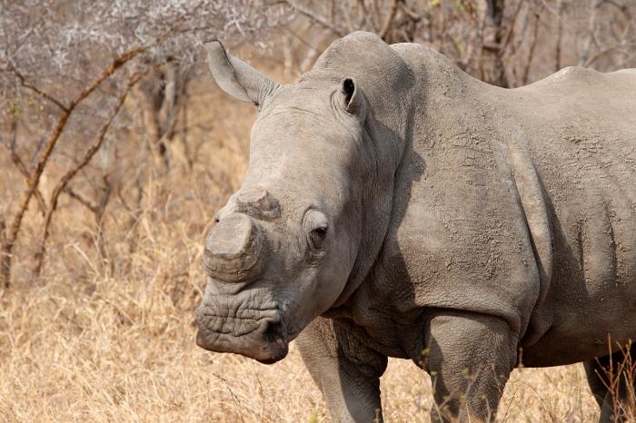 ACTCM rhino