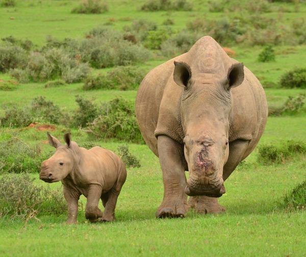 Kariega-Thandi-rhino-Thembi-2_2015_03_03
