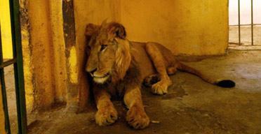 - - LA lion372
