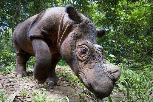 sumatran-rhino-MAIN
