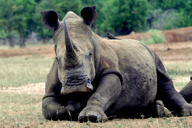 SWAZ-Hlane-Park-White-Rhino-looking-straight-on-lying-down-A-645x