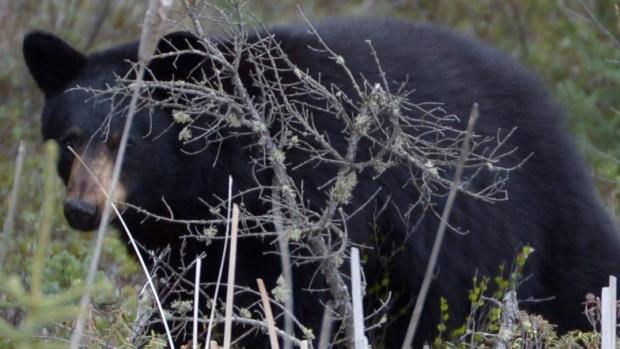 alberta-black-bear