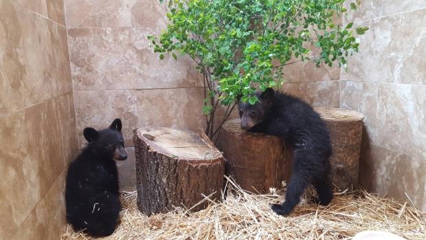 bear-cubs