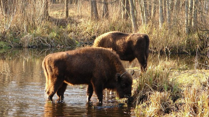CHERNOBYL Bison drink on the Belarus side of the Chernobyl exclusion zone
