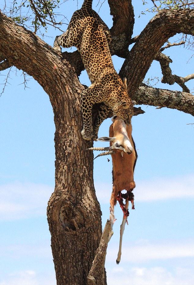 Leopards High Rise Dinner