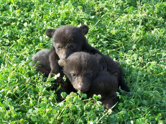 black_bear_cubs.576b4f542cf0e.jpg