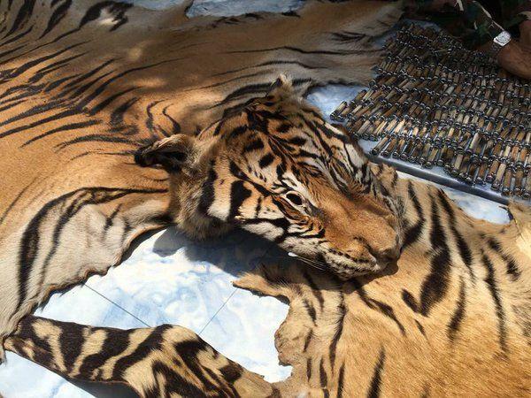 tiger_14