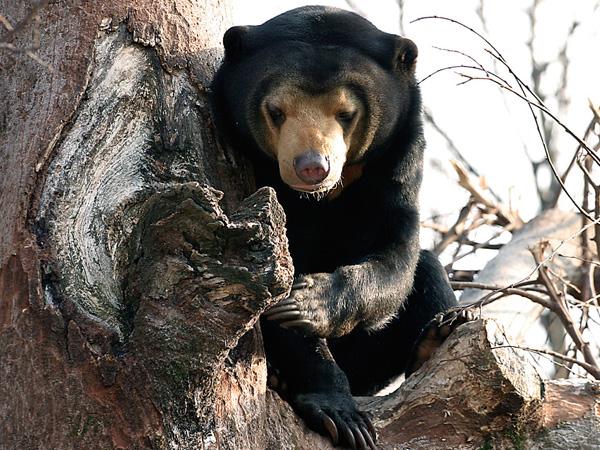 malayan-sun-bear_img01-l