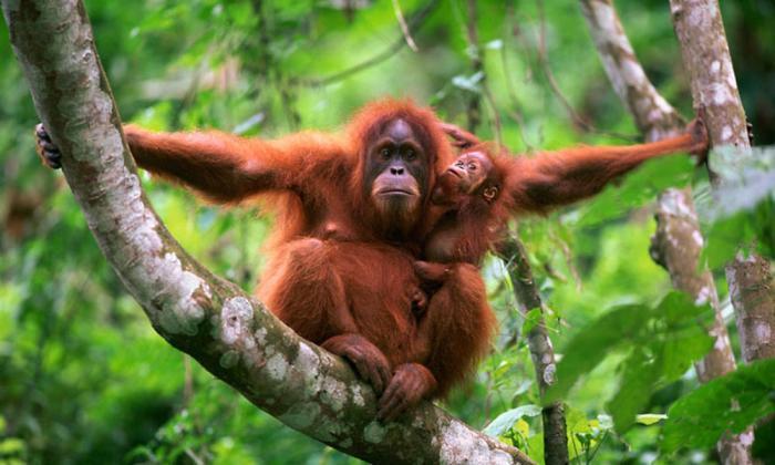 orangutan_with_baby