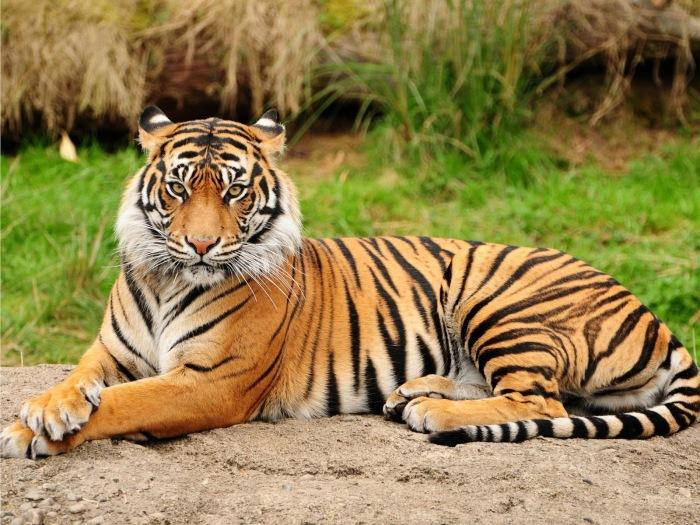 Tiger_Sumatran_Wild_Animal