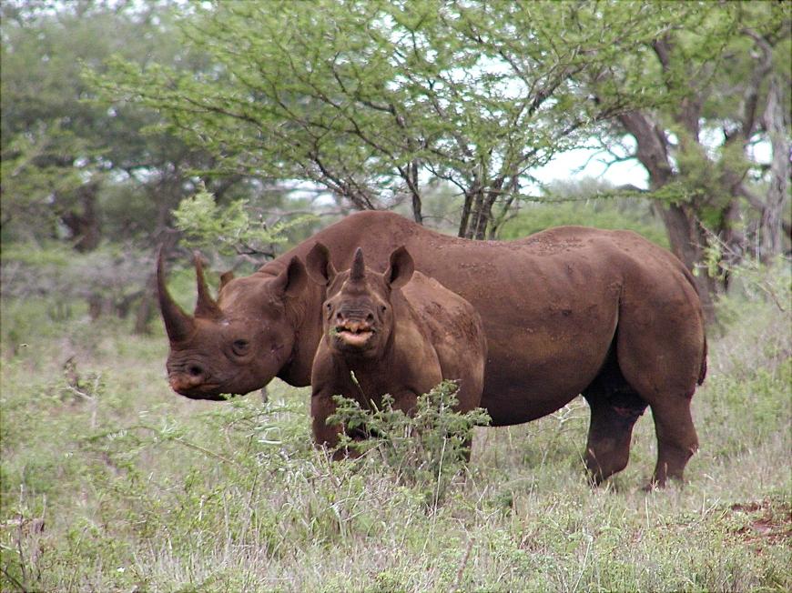 black-rhino-diceros-bicornis-by-karl-stromayer-usfws