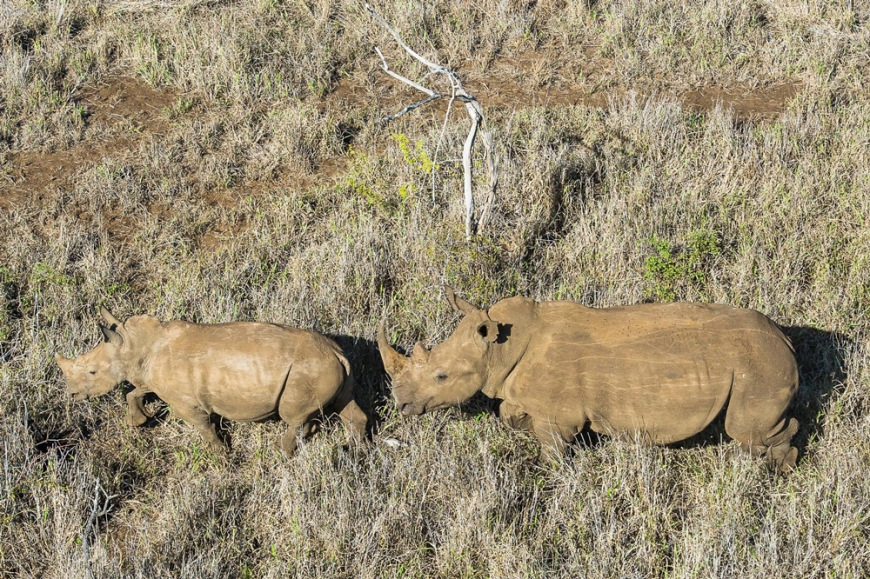 1-a-white-rhino-mother-and-calf-run-through-an-open-area-before-being-darted-from-the-air-to-begin-the-dehorning-proces