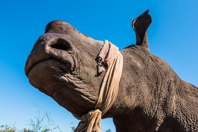 11-a-dehorned-white-rhino-with-a-protective-cloth-covering-its-eyes-just-prior-to-being-awoken-from-sedation