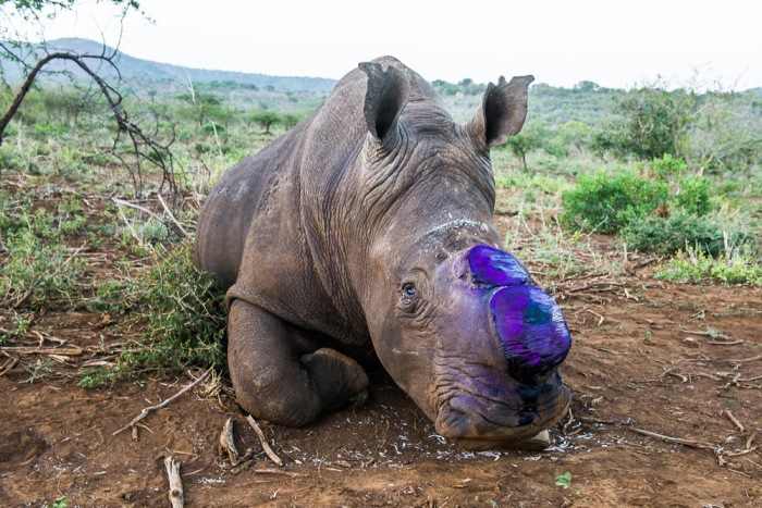 13-a-white-rhino-bull-begins-to-awake-after-sedation-the-area-where-his-horns-were-removed-has-been-carefully-sprayed-with-a-purple-coloured-antiseptic-this-colour-will-disappear-in-a-few-days