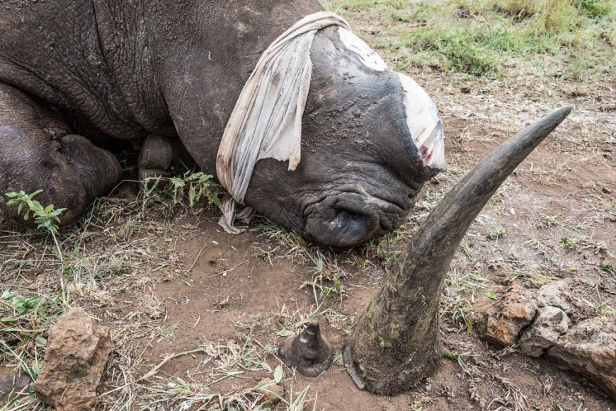 14-a-white-rhino-that-has-just-been-dehorned-with-ear-plugs-and-a-protective-cloth-covering-its-eyes
