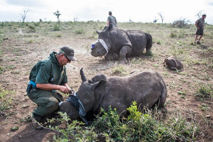 17-dr-mike-toft-makes-a-final-check-on-a-white-rhino-mother-and-calf-before-administering-the-antidote-that-will-awaken-the-two-animals-from-sedation