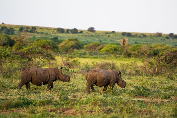18-two-white-rhinos-that-have-recently-had-their-horns-removed-wander-off-into-the-surrounding-bushveld