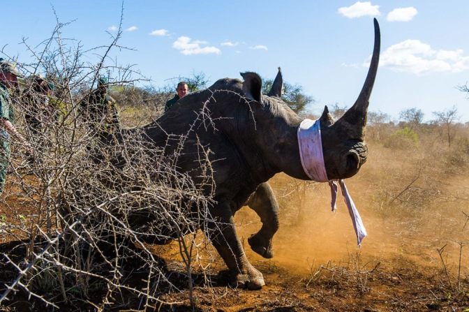 3-a-large-white-rhino-cow-which-has-had-her-eyes-covered-for-protection-begins-to-settle-as-the-sedating-drugs-take-effect-peter-chadwick
