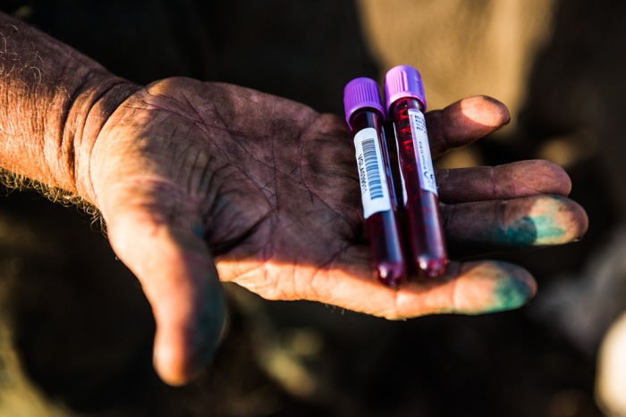 8-blood-samples-are-taken-for-dna-sampling-from-each-sedated-rhino