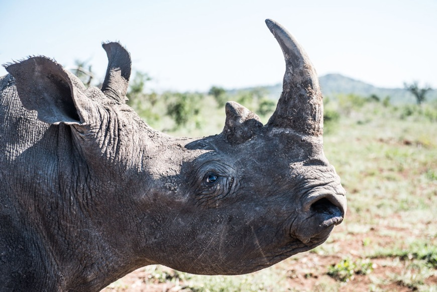 9-a-partially-sedated-white-rhinos-pupils-begin-to-dilate-before-they-are-covered-with-a-cloth-to-protect-them-from-damage