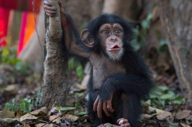 170131-chimpanzee-trade-reality-feature