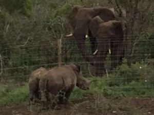 rhino-attack-thulathula-3-300x225