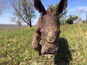 rhino-attack-thulathula-4-300x225