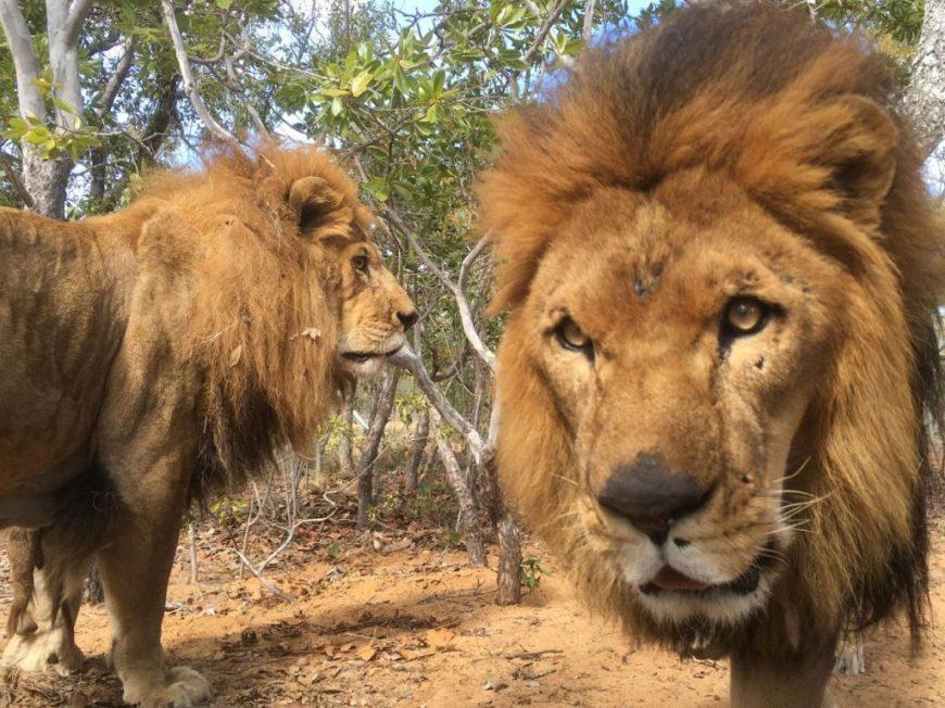 01-captive-lion-poaching.adapt_.1190.1