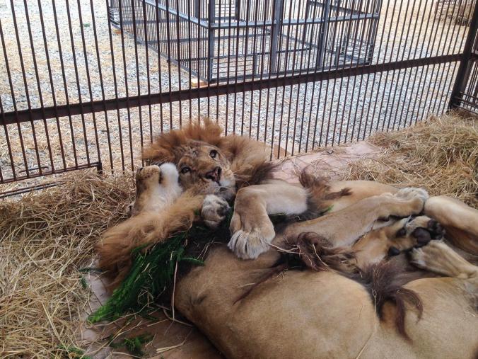 02-captive-lion-poaching.adapt.676.1