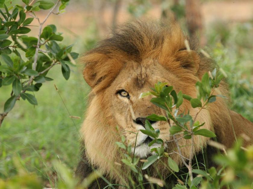 03-captive-lion-poaching.adapt.1190.1