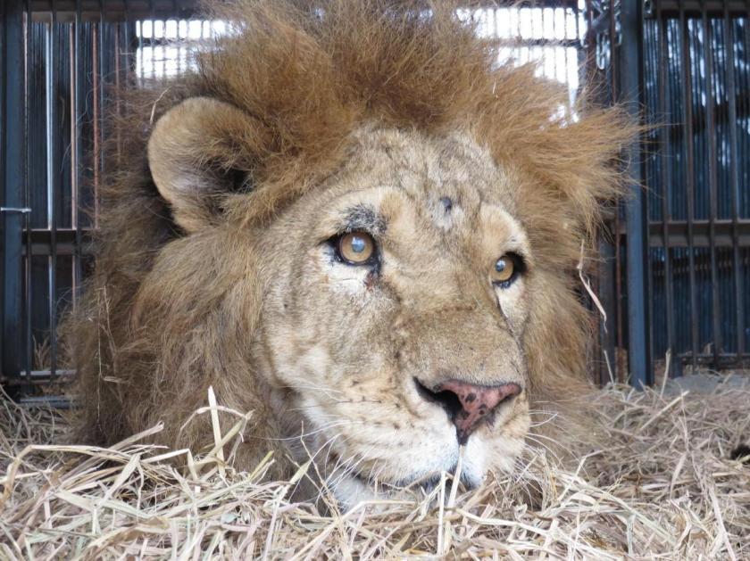 04-captive-lion-poaching.adapt.1190.1