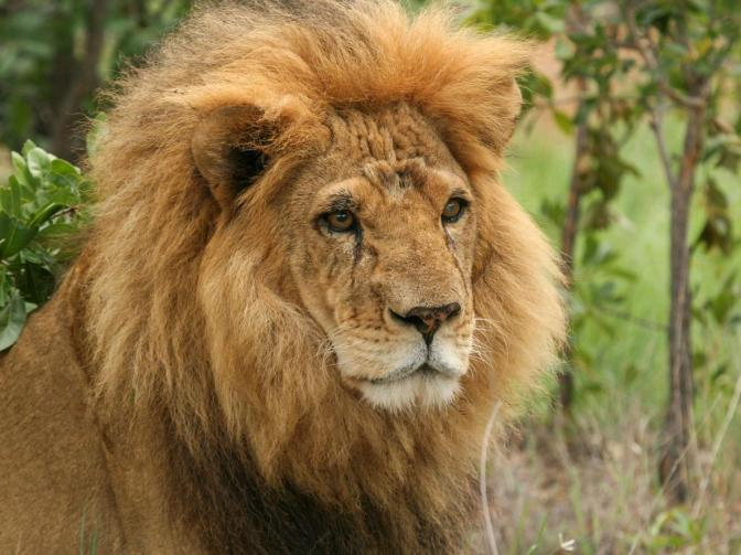 05-captive-lion-poaching.adapt.1190.1