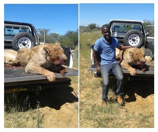 Lion121