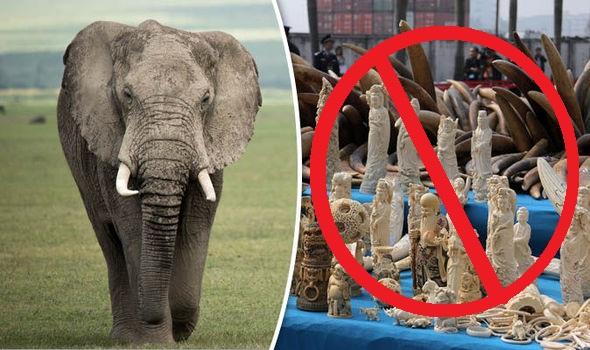 Illegal-ivory-trade-elephant-729554