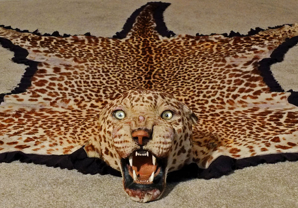 taxidemy-indian-leopard-skin-rug-c1930