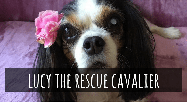 lucy-the-rescue-cavalier