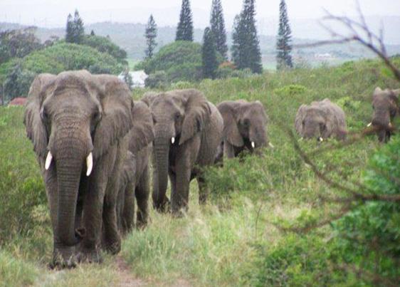 x29vo-elephants-vigil-1